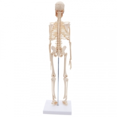 45CM Fexible Part Human Anatomical Skeleton Medical Model with Stand for School white